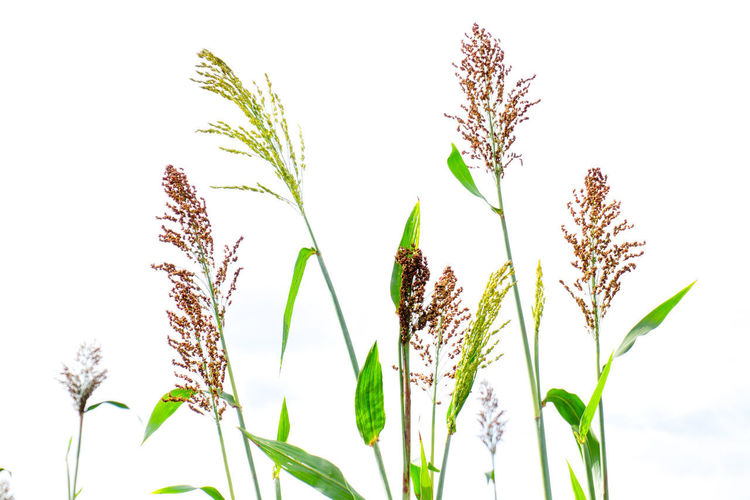 Agriculture Beauty In Nature Cereal Plant Clear Sky Close-up Day Ear Of Wheat Field Freshness Grass Green Color Growth Nature No People Outdoors Plant Rural Scene Sky Sorghum Wheat
