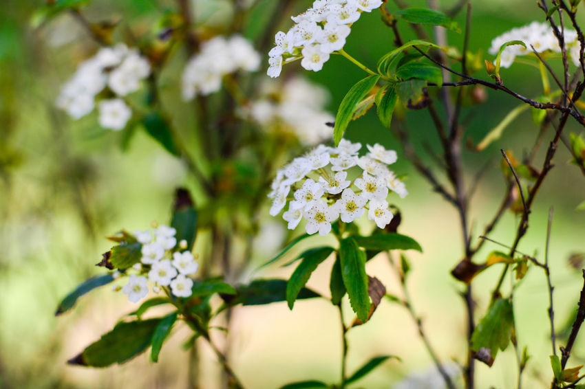 Apple Blossom Beauty In Nature Blossom Botany Branch Cherry Blossom Cherry Tree Close-up Day Flower Flower Head Focus On Foreground Fragility Freshness Green Color Growth In Bloom Nature No People Petal Season  Springtime Tree White White Color