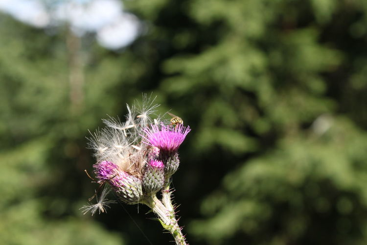 thistle Thistle Distel Distelblüte Disteln Flower Flower Head Perching Insect Pink Color Purple Close-up Animal Themes In Bloom Blooming Pollen Plant Life Botany Symbiotic Relationship Flowering Plant