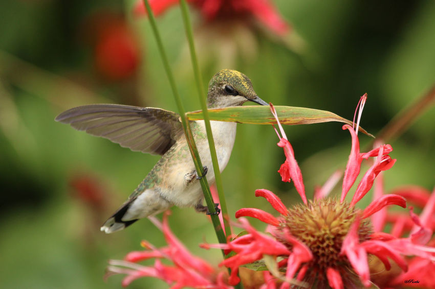 Humming Bird and Bee-balm Animal Themes Animals In The Wild Beauty In Nature Bee-balm Close-up Day Fragility Green Hummingbird Growth Hummingbird Nature No People One Animal Outdoors Plant Wings