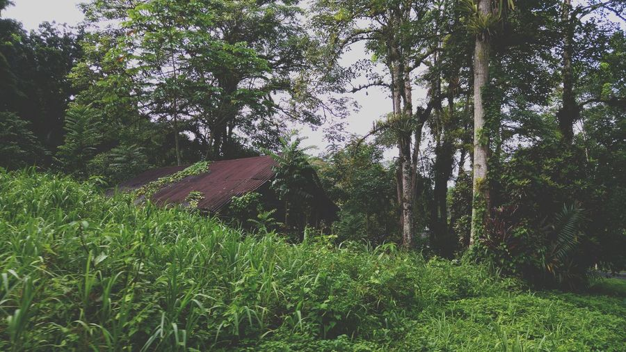 Abandoned cocoa house at Brasso Seco village Cocoa House Secluded  Mysterious Check This Out Taking Photos Greenery EyeEm Nature Lover Notes From The Underground
