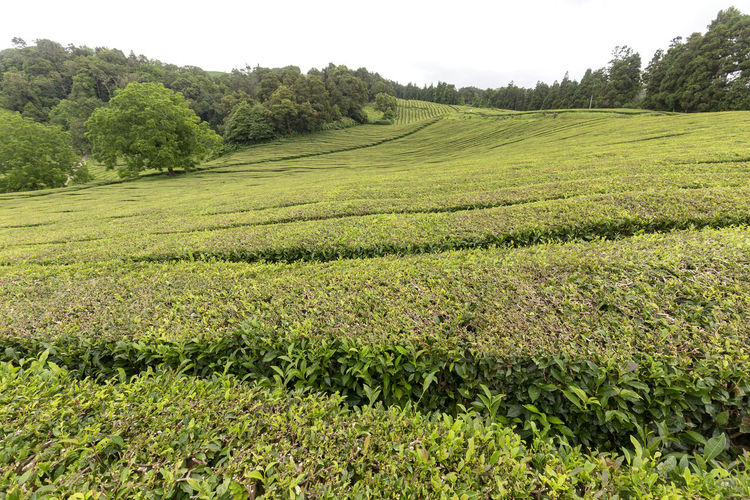 Tea bushes growing up to the top of a valley in the Azores. Tea Plantation Azores Portugal Green Production Organic Açores Sao Miguel Destination Europe Atlantic São Brás Agriculture Gorreana Tourism Tranquility Growth Field Landscape Plant No People Nature Black Tea Green Tea