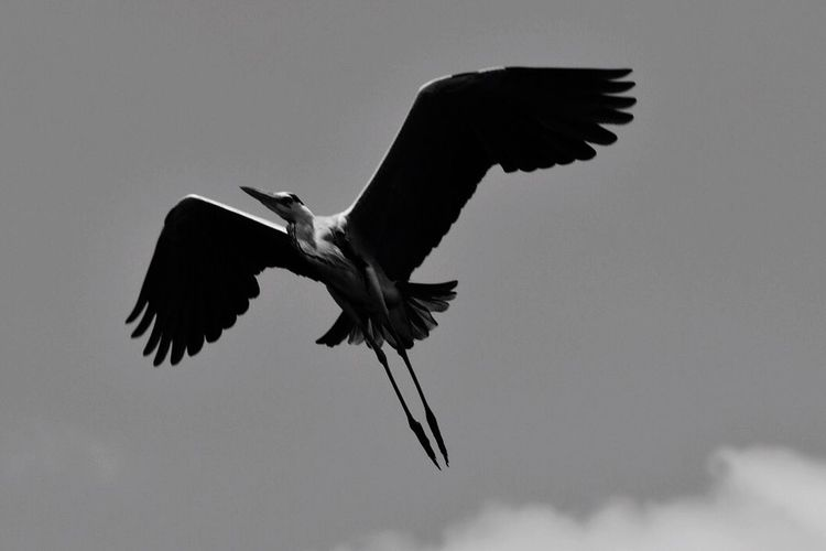 Freedom to fly. They should never be caged. Birds In Flight Bird Photography Birds Of EyeEm  Birds Flying High Birds Flying Free Unclipped Wings Soaring High Black And White Blackandwhite Photography Nature Photography Naturelovers
