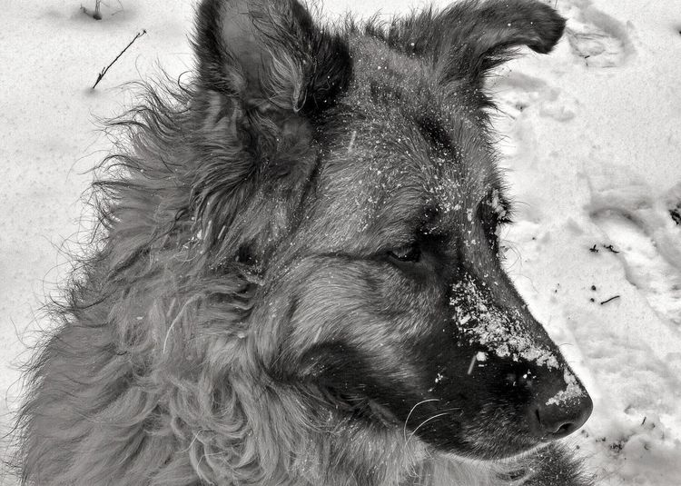 Love this sweet girl~ ❤❤❤. One Animal Domestic Animals Animal Themes Pets Dog Mobile Conversations GSD Germanshepherd Germanshepherddog Pets Corner Blackandwhite Black And White Pet Photography  Ilovemydog Tadaa Community Dogs Of EyeEm Loved Lovedogs Furry Friends Snowdog Treasured No People 😍❄