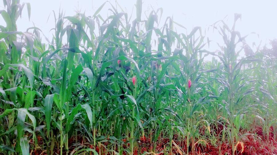 Corn fields in