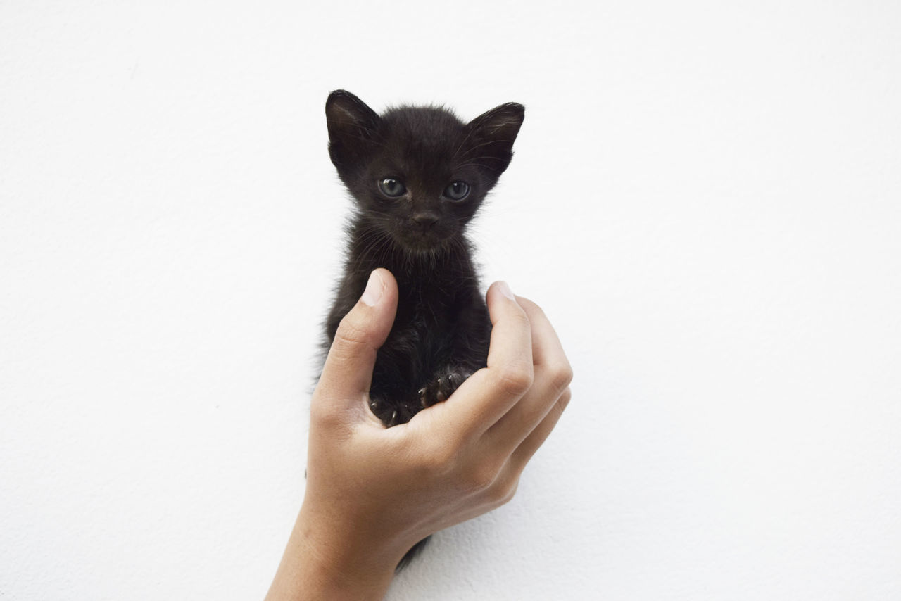 human hand, white background, pets, studio shot, domestic cat, mammal, holding, human body part, domestic animals, feline, one person, one animal, animal themes, real people, siamese cat, friendship, people