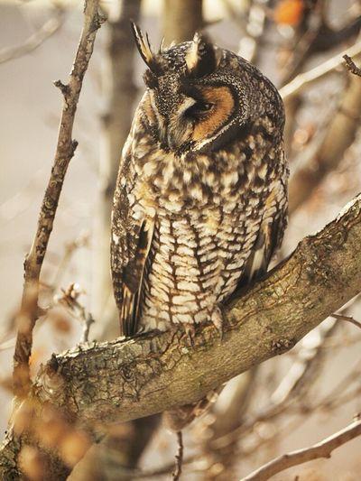 Just trying to sleep Owl Animal Longeared Olympus OM-D EM-1