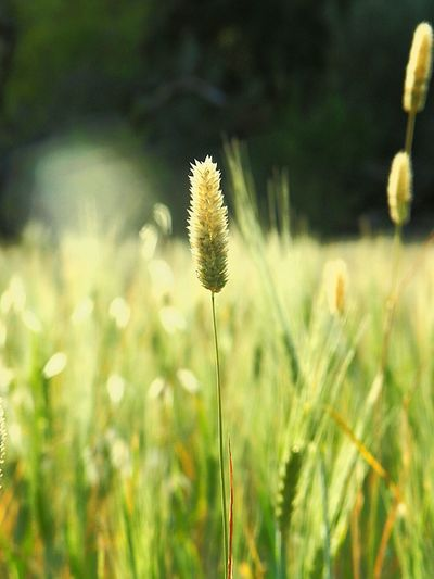 Beauty In Nature Close-up Day Field Flower Flower Head Focus On Foreground Freshness Grass Growth Nature No People Outdoors Plant Simplicity Tranquility