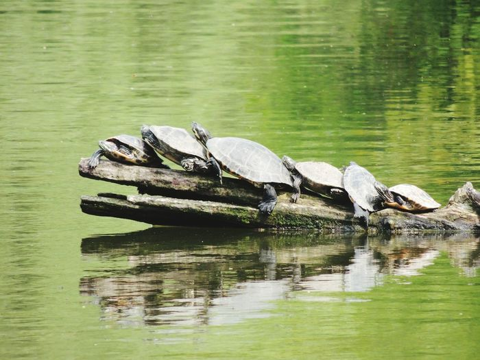 High angle view of tortoises on driftwood log