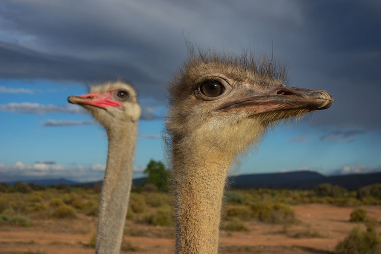 Ostrich couple watching what happens with dramatic sky in the background - both watch in different directions Ostrich Animal Bird Animal Wildlife Nature Day Beak Two Animals Outdoors Sky Couple Couples Males  Females Neck Togetherness Relationship Environement Surprise Weather Cloud - Sky Curious Watch Team Trust