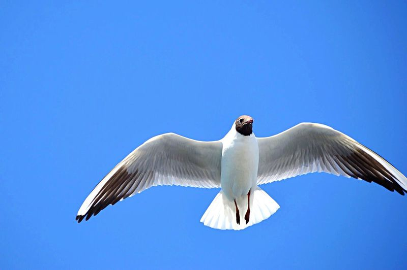 Bird Flying Vertebrate Sky Animal Wildlife Animals In The Wild Clear Sky Animal Animal Themes Spread Wings Low Angle View One Animal Copy Space Nature Day Mid-air No People White Color Black-headed Gull Blue