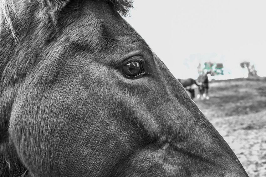 Eye of the tiger.....I mean horse 😁 Horse Head Horse Photography  Horse Domestic Animals Animal Themes One Animal Mammal Pets Focus On Foreground Animal Head  Close-up Day Outdoors No People