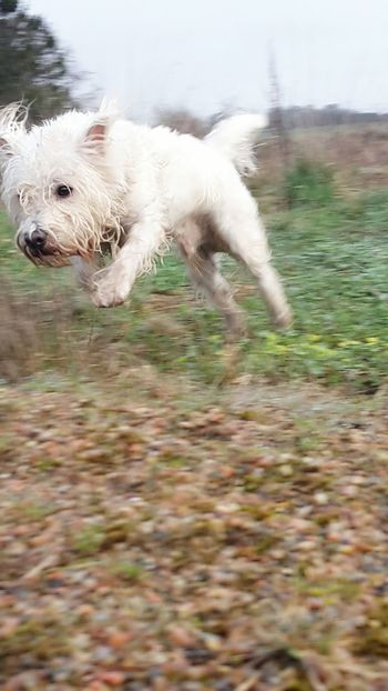 Animal One Animal Domestic Animals Water Animal Themes Dog Pets No People Outdoors Day Close-up Nature Samsungphotography Hobby Photography Running Dog West Highland White Terrier My Buddie Terrier