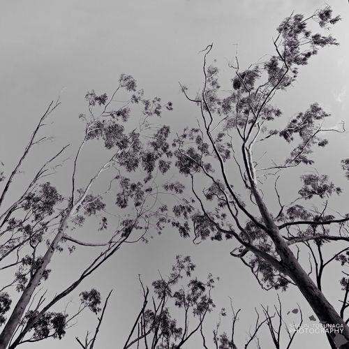 Eucalyptus Trees Blackandwhite Monochrome Nature
