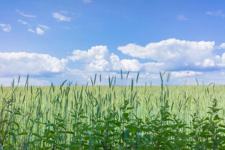 Sommer am Feldrand Copy Space Feld Himmel Wiese  Wolken Frisch Getreide Nobody Sommer Wachstum