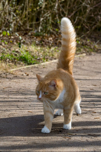 Domestic ginger cat defensive walking in sunshine with a puffed up tail Animal Themes Cat Cat Puff Tail Day Domestic Animals Domestic Cat Feline Full Length Mammal No People One Animal Outdoors Pets Portrait Puff Tail