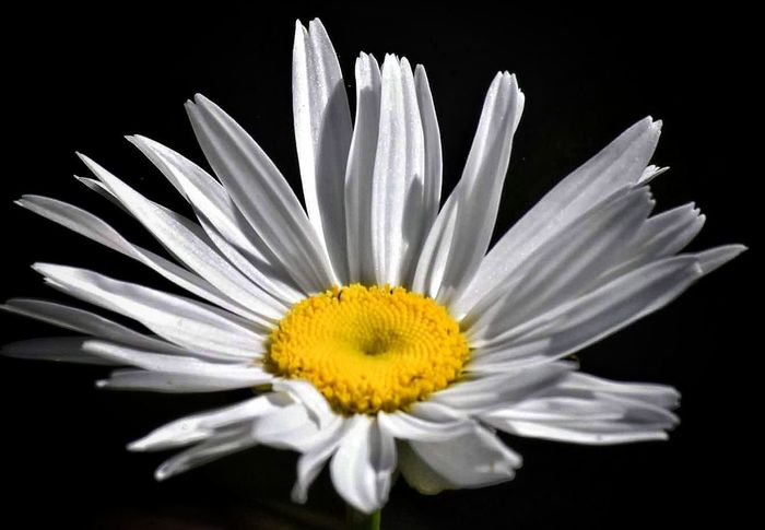 Flower Petal Fragility Flower Head Black Background Beauty In Nature Yellow Freshness Daisy Nature Pollen Beauty Elégance White Color Plant Growth Stamen Blossom Close-up No People