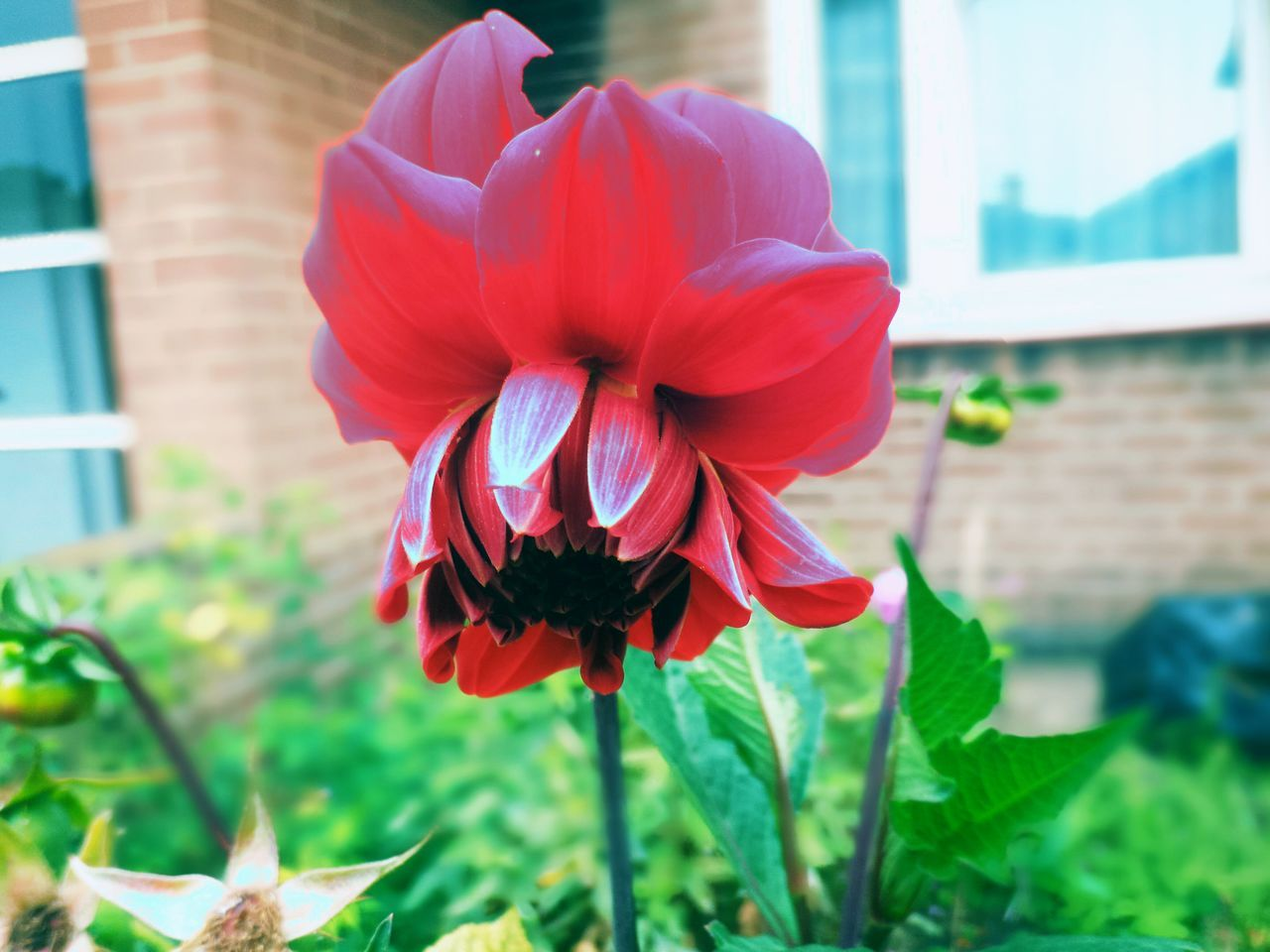flower, petal, nature, fragility, beauty in nature, growth, flower head, plant, freshness, blooming, focus on foreground, day, outdoors, no people, close-up, red