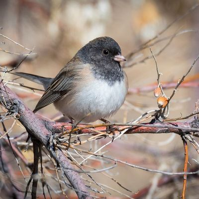 Junco perched on a leafless limb. Earlier today before clouds rolled in. Loving the new 7DmkII !! Birding Birdwatching Nature Wildthings Utah Antelopeisland Wowutah Experienceutah Igutah Fogsl GreatSaltLake Birdsofinstagram Igbirds