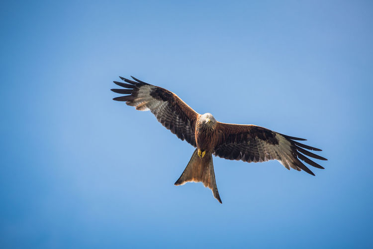 Low angle view of red kite flying in blue sky