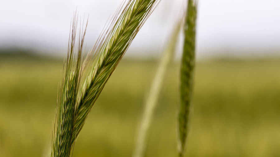 Close-Up Of Crop Growing On Agricultural Field