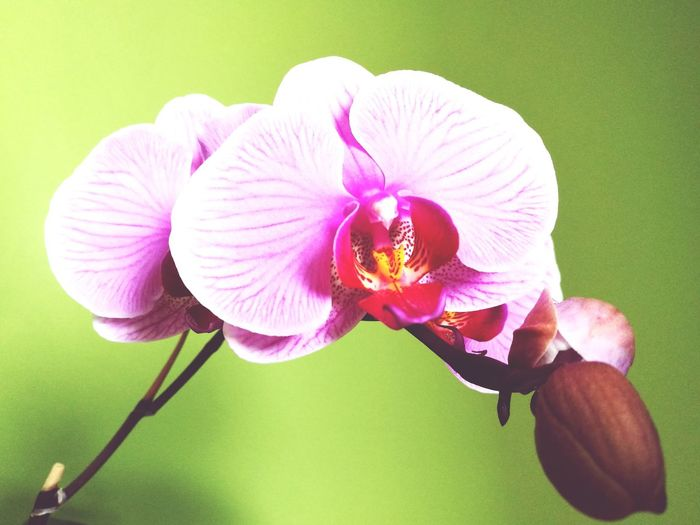 Flower Petal Fragility Flower Head Freshness Nature No People Plant Orchid