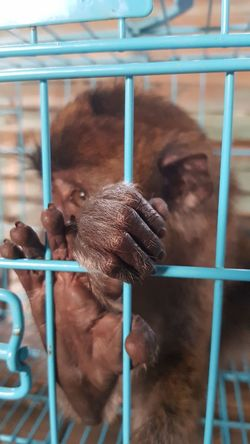caged :( Prison Confined Space Trapped Monkey Cage Ape Security Bar Animals In Captivity Prison Cell Prison Bars Justice - Concept Primate Baboon Infant Gorilla Chimpanzee Prisoner