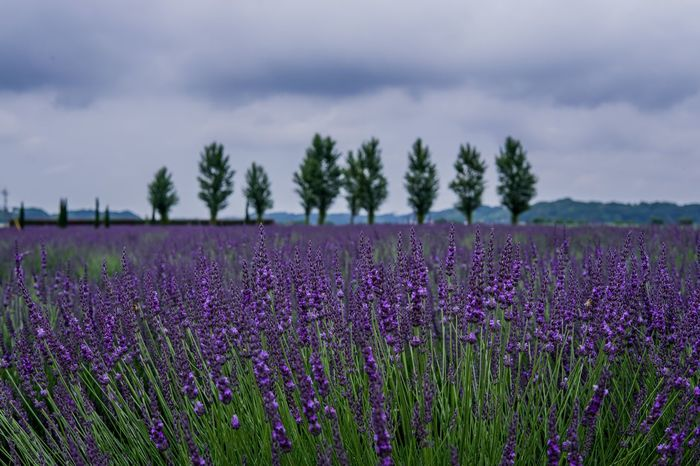 Lavender fields in Chiba, Japan Lavender Plant Flower Flowering Plant Growth Beauty In Nature Cloud - Sky Land Sky Nature Tree Field Purple Tranquility Tranquil Scene Scenics - Nature Freshness Fragility Vulnerability  Day No People