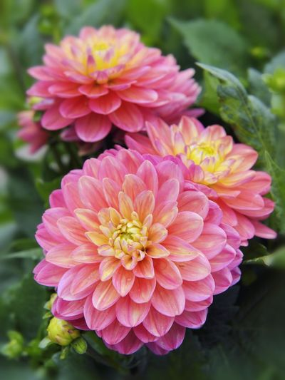 Dahlia plant with pink yellow flowers Ornamental Beauty In Nature Botany Close-up Dahlia Day Flower Flower Head Flowering Plant Focus On Foreground Fragility Nature No People Ornamental Plant Pink Color Pink Yellow Plant Salmon Colored Vulnerability