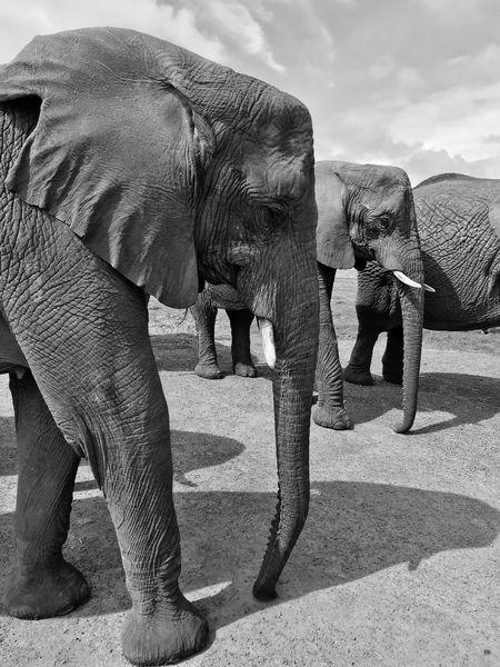 Pachyderm's Life! Elephant Park Knysna Knysna South Africa Elephant Animal Themes Animal Vertebrate Nature Animal Trunk Safari Animals In The Wild Animal Wildlife First Eyeem Photo