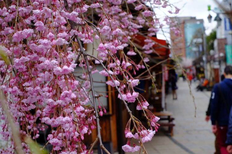 Pink flowers blooming on tree