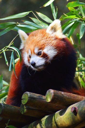 Red Panda. Red