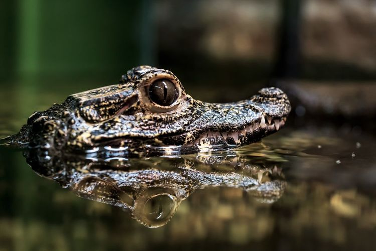 Aligator Aligators Alligator Animal Themes Animal Wildlife Animals In The Wild Caymen Clear Sky Close-up Crocodile Dark Day Dwarf Eyeball Focus On Foreground Nature No People One Animal Outdoors Reflection Reptile Swamp Teeth Water