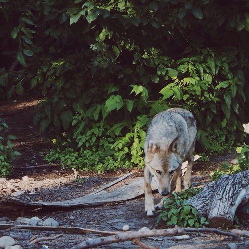 Wolf walking on field