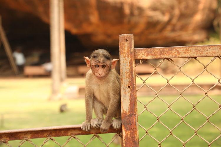 Portrait of monkey sitting on fence