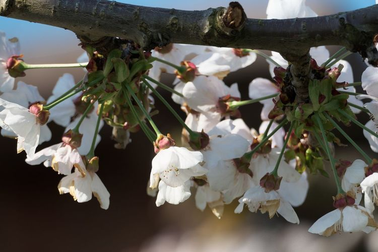 Flower Plant Flowering Plant Freshness Growth Beauty In Nature Fragility White Color Branch Vulnerability  Tree Nature Close-up Blossom No People Day Fruit Tree Focus On Foreground Petal Springtime Outdoors Pollen Flower Head Cherry Blossom Cherry Tree
