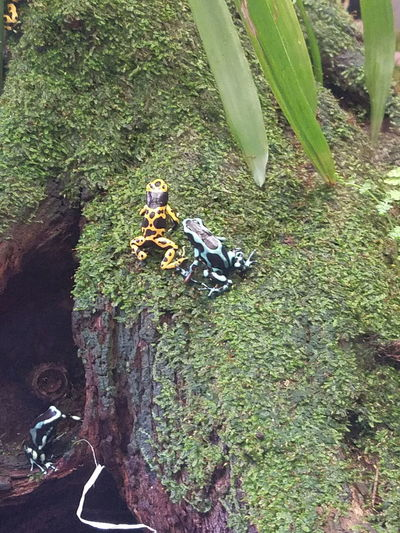 Frogs Frog Amphibian Amphibians Poison Dart Frog Poison Frogs Amazon Rainforest Frog Rainforest