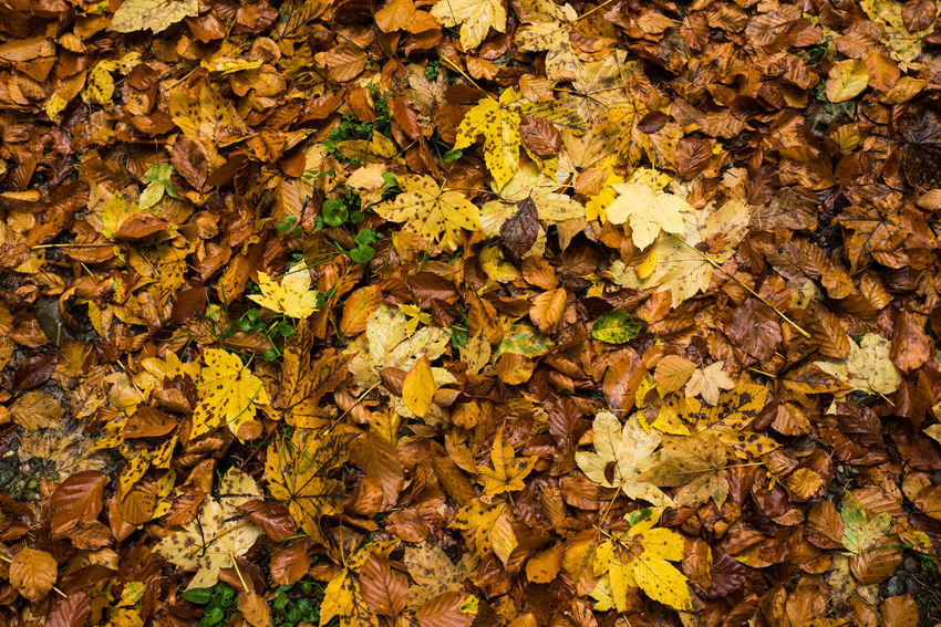 Forest floor covered with beechleaves Autumn colors Autumn Leaves Nature Beechleaves Forest Forest Floor Ground Level View Leeves Switzerland