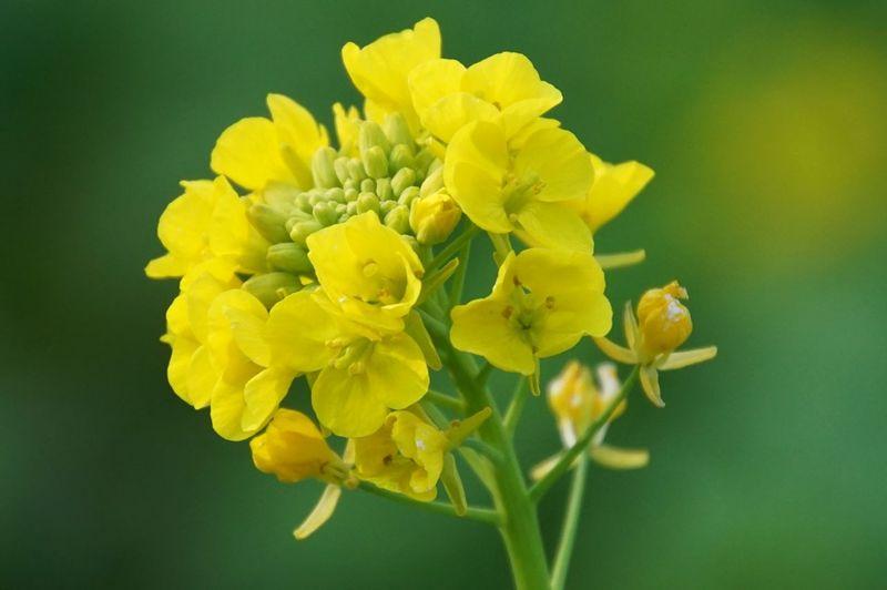 菜の花 Field Mustard Flowers Flowerporn EyeEm Nature Lover Nature_collection EyeEm Best Shots Macro Macro_collection