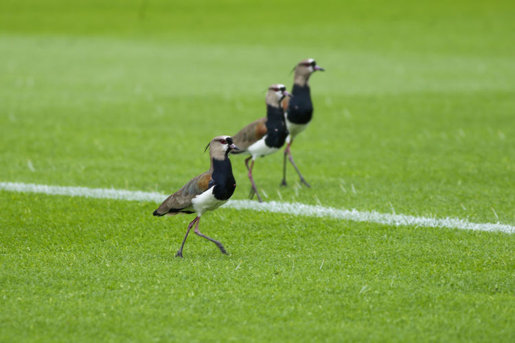 Side view of birds on grass
