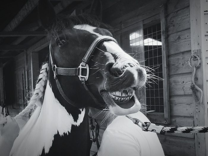 Give Us A Smile Horse Horse Photography  HORSE TEETH Teeth Teeth Model Smile Portrait Headshot Smiling Close-up