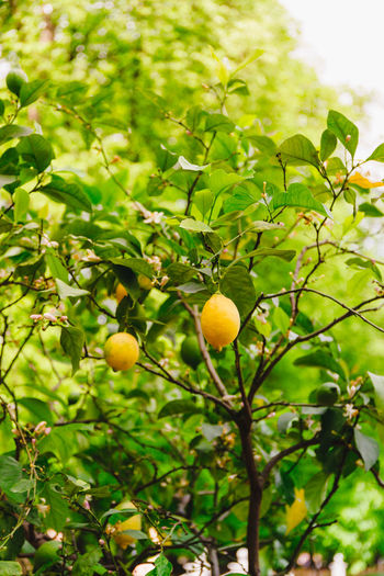 Lemon Tree Ripe Branch Fresh Lemons Nature Agriculture Plant Citrus  Food Leaf Yellow Organic Freshness Fruit Hanging Green Natural Flowering Vitamin Crop  Healthy Harvest Foliage Growing Juicy Bunch Gardening Summer Spring Flowers Sun Growth Garden Cultivated Botanical Vegetation Eco Ecology Detail Background