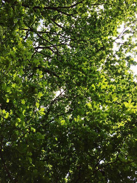 Lookingup TreePorn Eiche