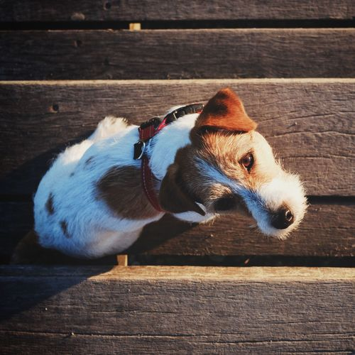 Jackrussell Jackrussellterrier Dogoutside Jrt Pets Domestic Animals One Animal Outdoors Fromthetop Top View Nature Jack Russell Terrier Evening Colors