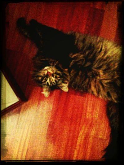 Selene Siberian Cat