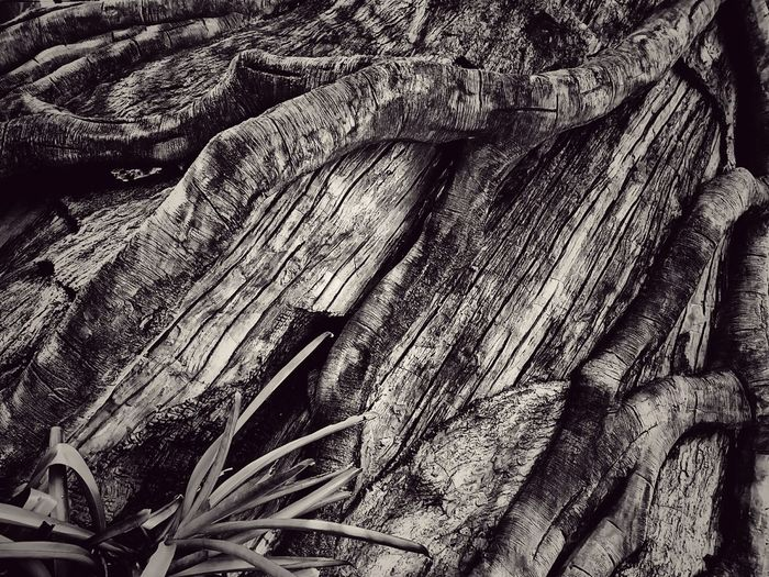 Black And White Black And White Photography Black And White Collection  Root Roots Roots Of Tree Root Of A Tree Root Of The Tree Root Of Tree Texture Texture Photography Textured