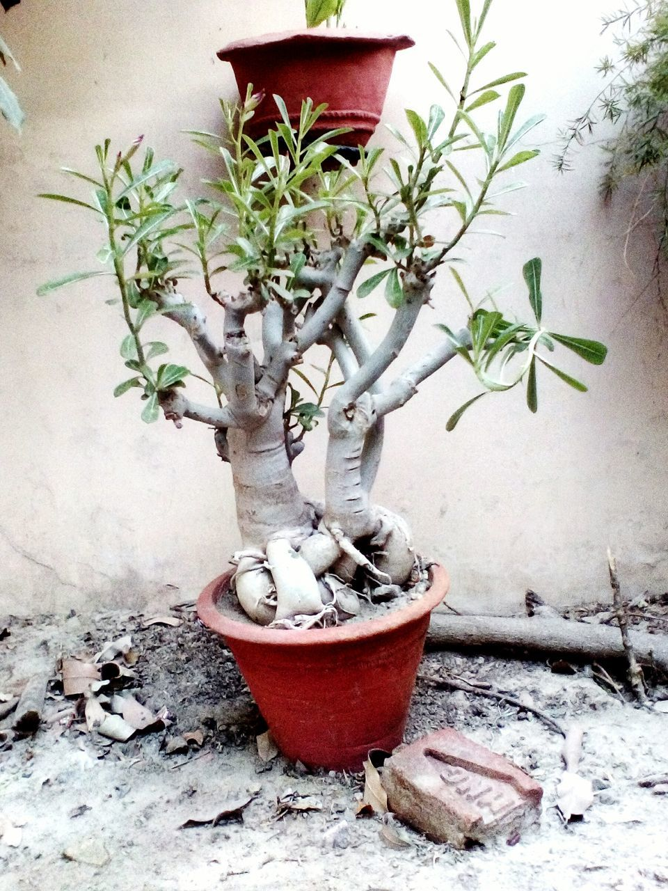 potted plant, plant, growth, bonsai tree, no people, nature, table, leaf, tree, day, indoors, branch, flower, close-up