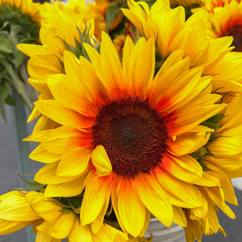 Beauty In Nature Close-up Day Flower Flower Head Flowering Plant Focus On Foreground Fragility Freshness Gazania Growth Inflorescence Nature No People Outdoors Petal Plant Pollen Sunflower Yellow