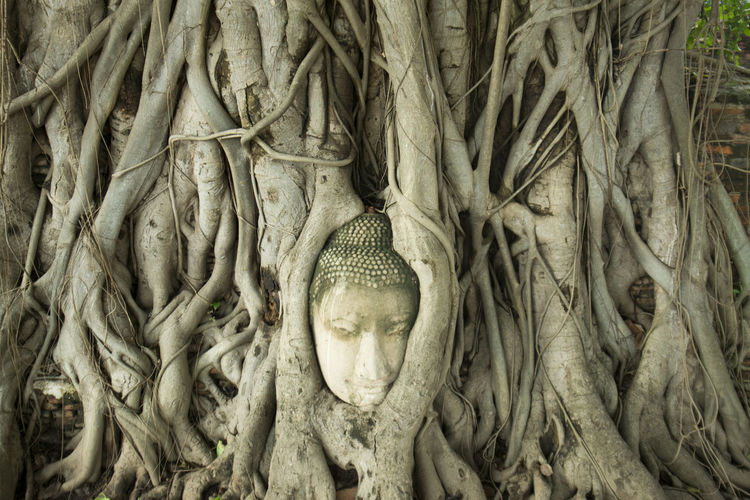 Buddha head in tree roots at wat phra mahathat