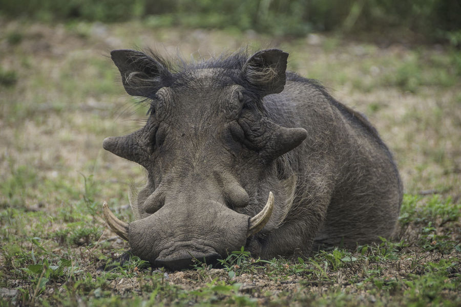 Ways Of Seeing Nature South Africa Africa Animal Outdoors Resting Warthog Wildlife #FREIHEITBERLIN